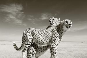 Cheetahs in landscape, Masai Mara reserve, Kenya