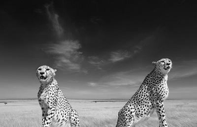 Cheetahs in Masai Mara, sitting on safari car roof